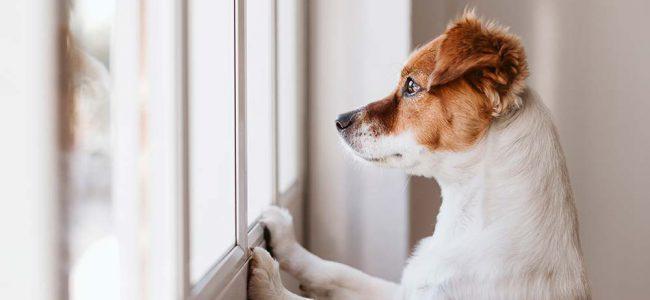 Hond kijkt uit raam.